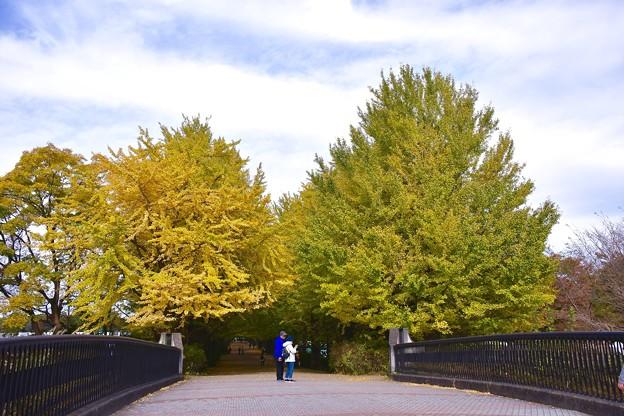 平日の昼下がり。。色付く銀杏。。昭和記念公園 20161110