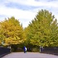 写真: 平日の昼下がり。。色付く銀杏。。昭和記念公園 20161110