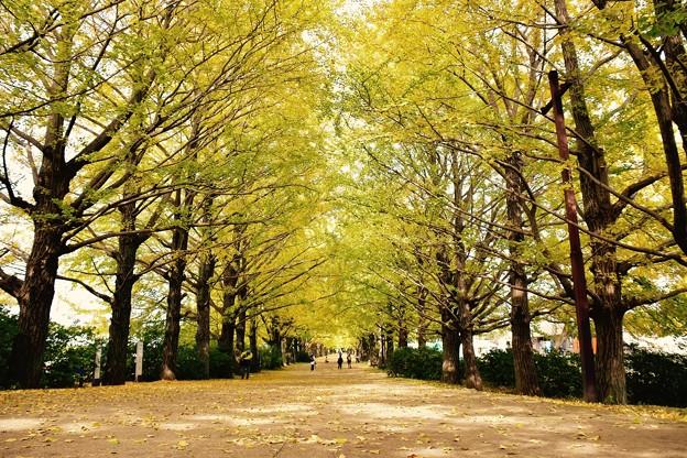 太陽の光が木漏れ日に。。昭和記念公園 イチョウ並木 20161110