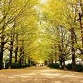写真: 太陽の光が木漏れ日に。。昭和記念公園 イチョウ並木 20161110