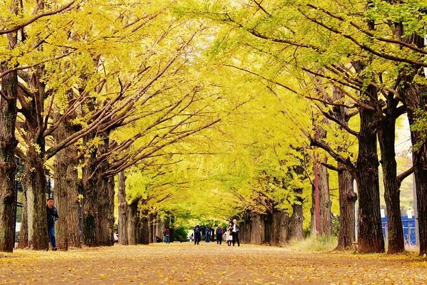 黄色い絨毯。。イチョウの落ち葉。。昭和記念公園 20161110