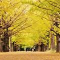 Photos: 黄色い絨毯。。イチョウの落ち葉。。昭和記念公園 20161110