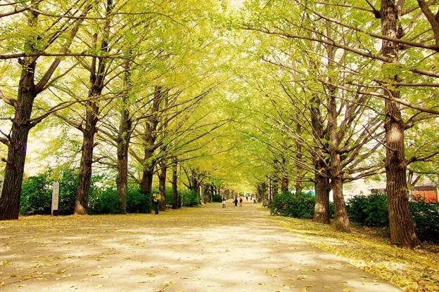 明るい木漏れ日。。昭和記念公園 イチョウ並木 20161110