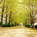 Photos: 明るい木漏れ日。。昭和記念公園 イチョウ並木 20161110