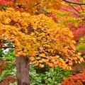 綺麗な色合いの紅葉。。昭和記念公園 日本庭園 20161110
