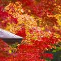 たくさんの色付いた紅葉。。昭和記念公園 日本庭園 20161110