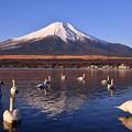 朝日も上りきって。。元気な白鳥と富士山 20170101