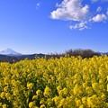 午後の吾妻山公園から見る吾妻山公園の菜の花畑と青い空。。20170121