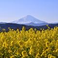 吾妻山公園の菜の花から見る富士山。。20170121