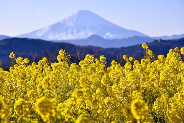 満開の吾妻山公園 菜の花畑。。富士山くっきりで。。20170121
