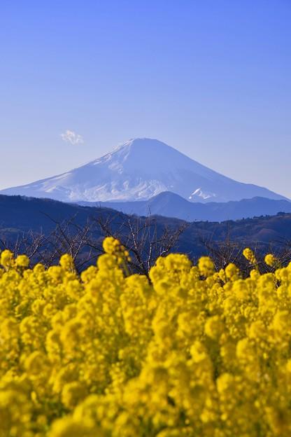 綺麗なこの日の富士山と黄色い菜の花のコラボレーション。。20170121