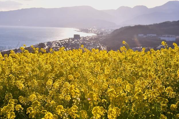 西陽を浴びて輝く菜の花。。相模湾と小田原の街並み。。20170121
