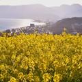 写真: 西陽を浴びて輝く菜の花。。相模湾と小田原の街並み。。20170121
