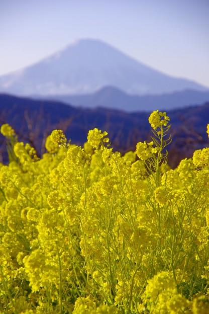 夕方になる二宮町吾妻山公園から見る富士山と菜の花。。20170121