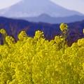 写真: 夕方になる二宮町吾妻山公園から見る富士山と菜の花。。20170121