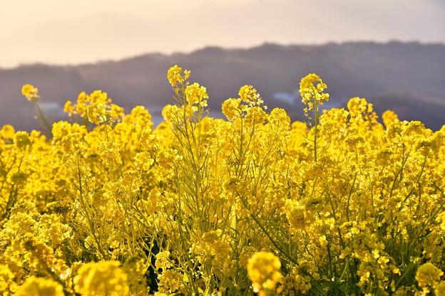 西陽を浴びて金色に輝く菜の花。。吾妻山公園 20170121
