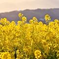 写真: 西陽を浴びて金色に輝く菜の花。。吾妻山公園 20170121