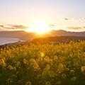西に沈んで行く太陽。。夕日を浴びて菜の花。。吾妻山公園 20170121