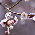 渓流の水辺に咲く白梅。。小田原フラワーガーデン ①(^^)。。20170205