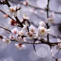 渓流の水辺に咲く白梅。。小田原フラワーガーデン ②(^^)。。20170205