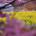 春に向かって。。河津町の河津桜の向こうには菜の花  20170218