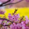 黄色を背景に。。伊豆河津町の河津桜。。20170218
