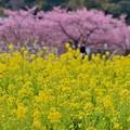 伊豆河津町のピンクと黄色いコラボ。。(^^)20170218