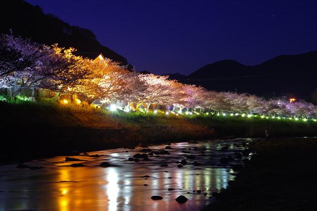 河津川にも光るライトアップ。。伊豆河津町 河津桜。。20170218