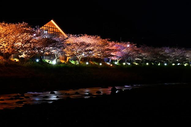 河津川沿いライトアップされて河津桜。。(^^)20170218