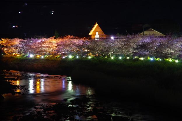 ずっと向こうまでライトアップされて河津桜。。伊豆河津町 20170218