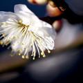 元日に咲く梅