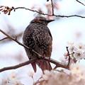 写真: ヒヨドリの花見