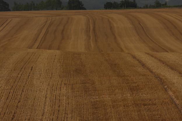 麦の大河 年輪