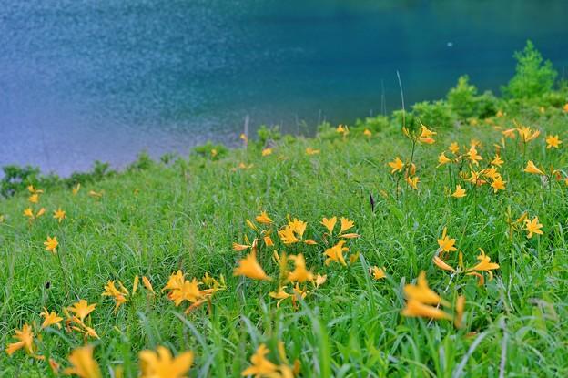 野反湖 ノゾリキスゲの咲くころ(14)