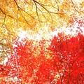 写真: 紅葉の錦 神のまにまに・・・