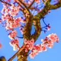 写真: 今年最初の・・・春の華 ~桜~