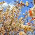 写真: 見上げてごらん・・・春の華を