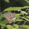 桜野小のサトキマダラヒカゲ