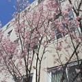 聖心女子大学の桜