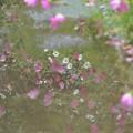 写真: 映り込む秋桜