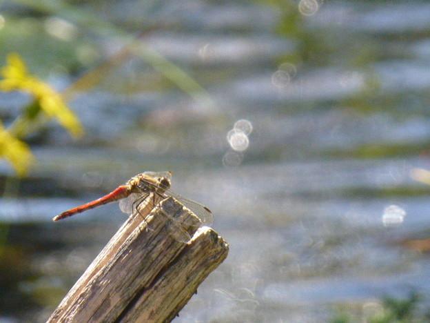 水辺のトンボ