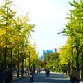 色付き始めた銀杏並木@大阪城公園