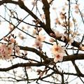 写真: アーモンドのお花見