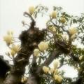 街中に咲く白木蓮