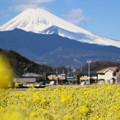 菜の花と富士2