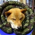 写真: エリマキ犬発見