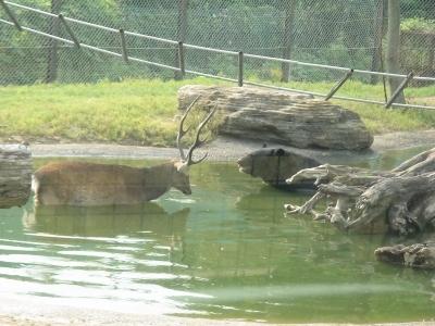 クマと鹿が仲良く水浴び