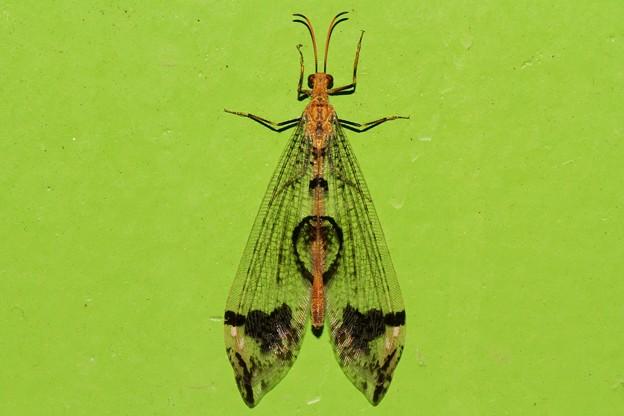 ウスバカゲロウの画像 p1_33