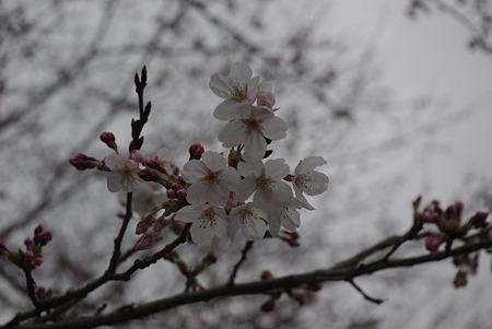 20100320桜開花01