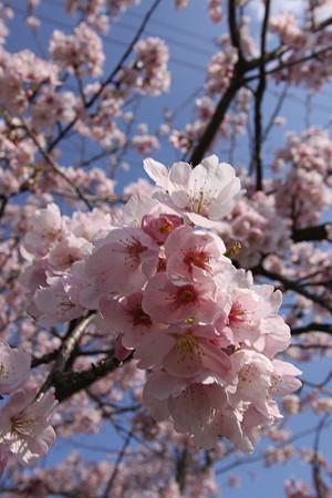 安行大寒桜